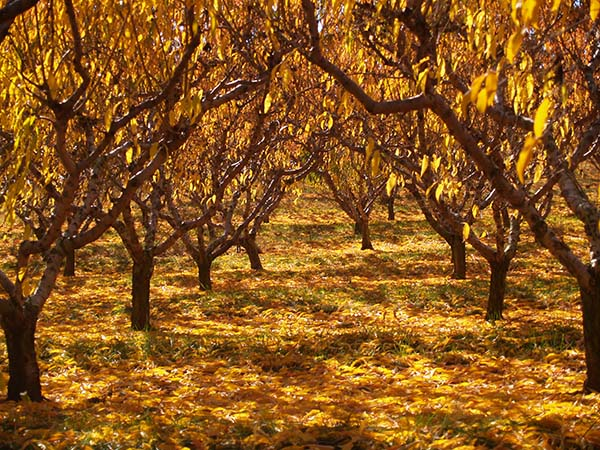 Virginia Peach Orchard in Autumn